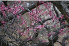 国営武蔵丘陵森林公園で久しぶりに梅の花を見る