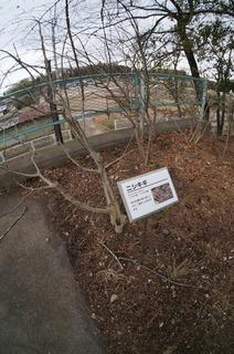 1森林公園緑道、滑川町のニシキギ