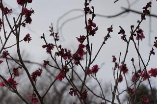 武蔵丘陵森林公園の梅の花