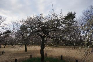 武蔵丘陵森林公園の梅