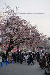 上野の大寒桜