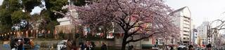 上野の桜をNEX-5Tでパノラマ撮影