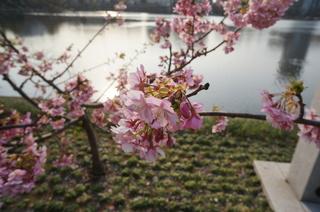 上野の不忍池に咲く桜