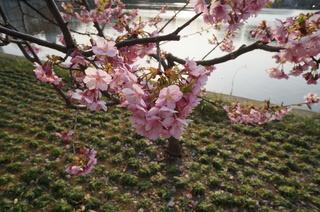 上野の不忍池に咲く桜の花