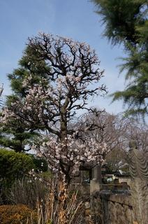 東京大仏前付近の梅の花