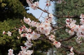 板橋区赤塚の東京大仏付近に咲く梅の花