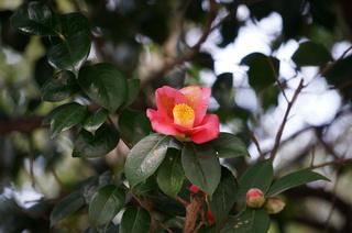 板橋区、赤塚溜池公園付近に咲く椿の花