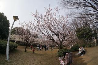 赤塚溜池公園の梅まつり終了~