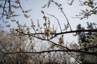 赤塚溜池公園の梅林と梅の花