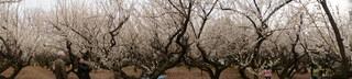 赤塚溜池公園の梅林と梅花をパノラマ撮影