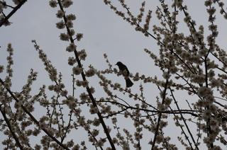 赤塚溜池公園の梅の木にとまる鳥