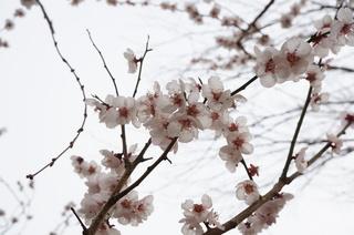 赤塚溜池公園の梅の花