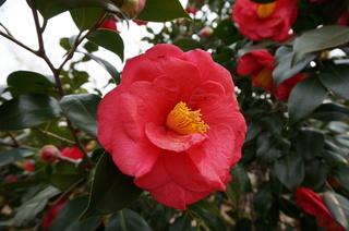 赤塚溜池公園の椿の花