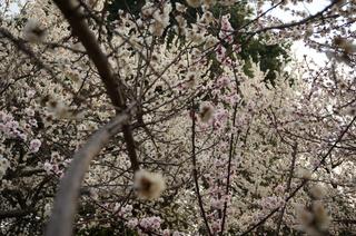 赤塚溜池公園の梅林と梅花
