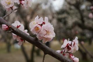 赤塚溜池公園の淡いピンク色の梅の花