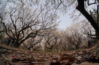 赤塚溜池公園の梅林と梅花を魚眼レンズで撮影
