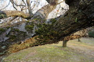 赤塚溜池公園の梅の木