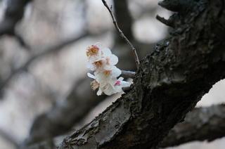 赤塚溜池公園の梅花をNEX-5Tで撮影