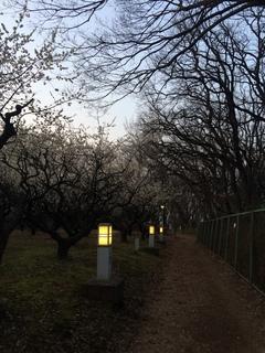 夕暮れ時の赤塚溜池公園の梅林と梅花