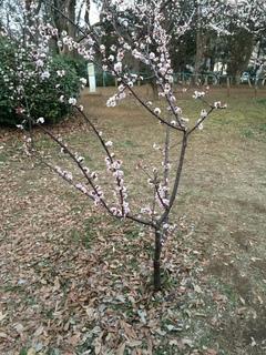 赤塚溜池公園の梅花