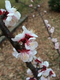 赤塚溜池公園の梅花をiPhone 5Sで撮影