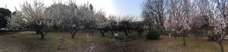 赤塚溜池公園の梅林と梅花をiPhone 5Sでパノラマ撮影