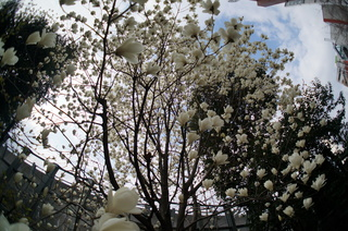 池袋の白木蓮(ハクモクレン)