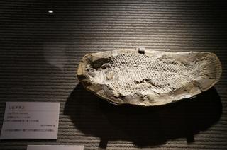 国立科学博物館の大アマゾン展観覧@サンタナ層の魚類化石、レピドテス