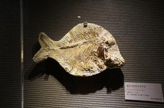 国立科学博物館の大アマゾン展観覧@サンタナ層の魚類化石、ネオプロサイネテス