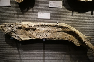 国立科学博物館の大アマゾン展観覧@サンタナ層の魚類化石、クラドキクルス