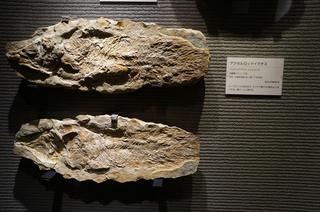 国立科学博物館の大アマゾン展観覧@サンタナ層の魚類化石、アクセルロッドイクチス