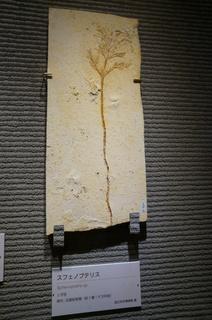 国立科学博物館の大アマゾン展観覧@クラト層の植物化石、スフェノプテリス(Sphenopteris sp)