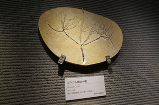 国立科学博物館の大アマゾン展観覧@クラト層の植物化石、グネツム類の一種