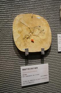 国立科学博物館の大アマゾン展観覧@クラト層の植物化石、類縁不明の裸子植物