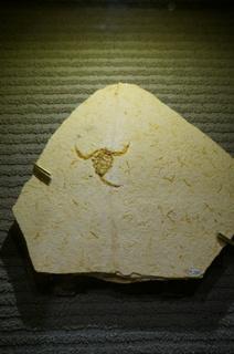 国立科学博物館の大アマゾン展観覧@クラト層のクモ・昆虫化石、ムカシヤセサソリ属の一種