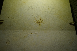 国立科学博物館の大アマゾン展観覧@クラト層のクモ・昆虫化石、ドヨウグモ亜科の一種