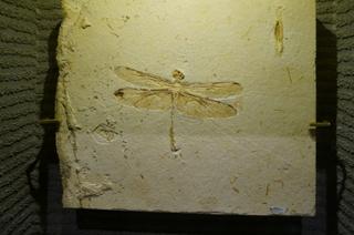 国立科学博物館の大アマゾン展観覧@クラト層のクモ・昆虫化石、トンボ亜目の一種
