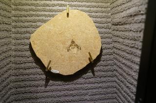 国立科学博物館の大アマゾン展観覧@クラト層のクモ・昆虫化石、タマムシ科の一種(Buprestidae sp)