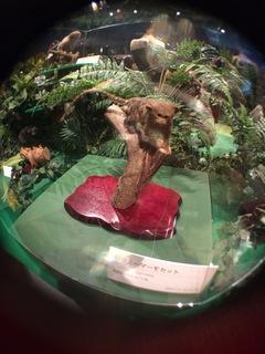 国立科学博物館の大アマゾン展観覧@アマゾンの哺乳類@南米で多様化したサル・ネズミ類、ピグミーマーモセット