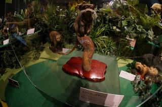 国立科学博物館の大アマゾン展観覧@アマゾンの哺乳類@南米で多様化したサル・ネズミ類、エンペラータマリン