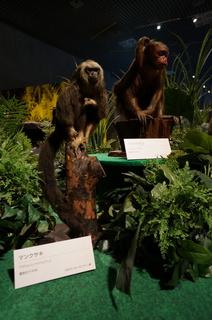 国立科学博物館の大アマゾン展観覧@アマゾンの哺乳類@南米で多様化したサル・ネズミ類、マンクサキとアカウアカリ