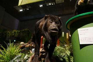 国立科学博物館の大アマゾン展観覧@アマゾンの哺乳類@南米で多様化したサル・ネズミ類、クロホエザル