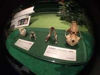 国立科学博物館の大アマゾン展観覧@アマゾンの哺乳類@南米で多様化したサル・ネズミ類、広鼻猿類と狭鼻猿類の頭蓋骨