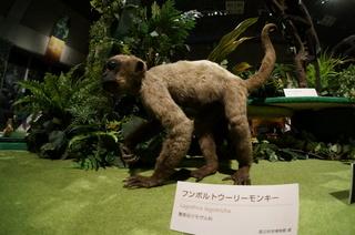 国立科学博物館の大アマゾン展観覧@アマゾンの哺乳類@南米で多様化したサル・ネズミ類、フンボルトウーリーモンキー