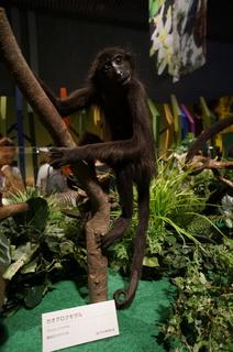 国立科学博物館の大アマゾン展観覧@アマゾンの哺乳類@南米で多様化したサル・ネズミ類、カオグロクモザル