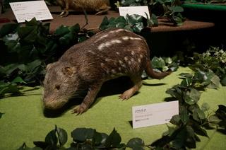 国立科学博物館の大アマゾン展観覧@アマゾンの哺乳類@南米で多様化したサル・ネズミ類、パカラナ