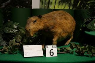 国立科学博物館の大アマゾン展観覧@アマゾンの哺乳類@南米で多様化したサル・ネズミ類、カピバラ