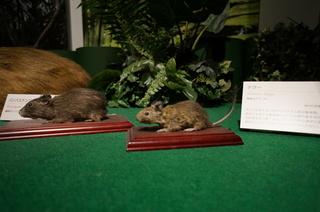 国立科学博物館の大アマゾン展観覧@アマゾンの哺乳類@南米で多様化したサル・ネズミ類、デグー