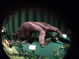アマゾンの哺乳類@アマゾン起源のアリクイ