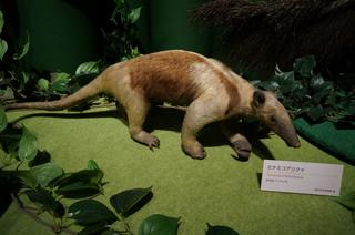 アマゾンの哺乳類@アマゾン起源のアリクイ、ミナミコアリクイ(Tamandua tetradactyla)